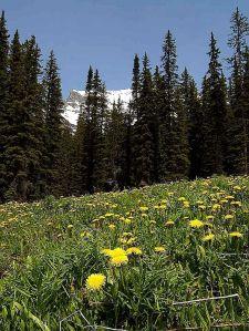 Spring_dandelions_flowers